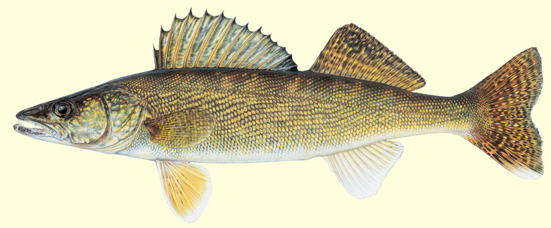 michigan-walleye