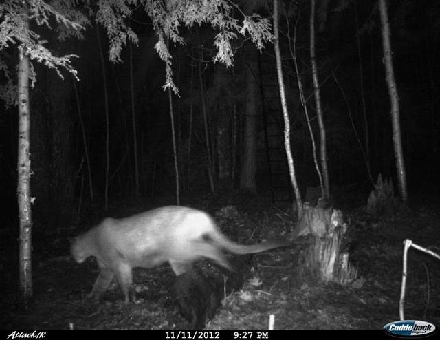 Michigan Cougar November 11 2012